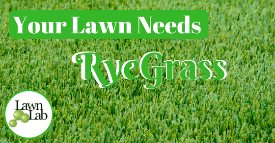 ryegrass seeding to bring back your lawn