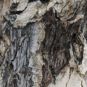 Bacterial tree infections