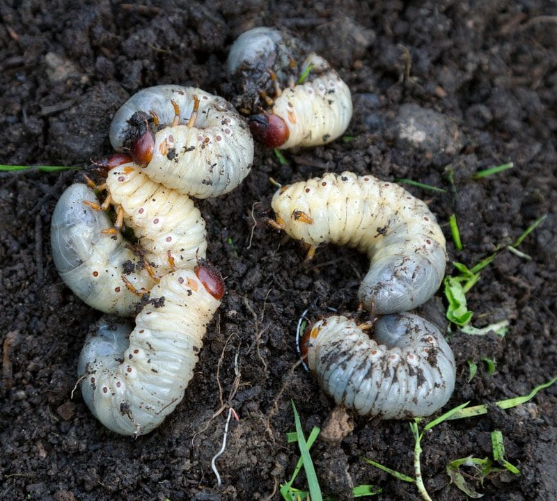 wHEN TO TREAT GRUBS