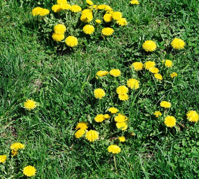 ways to prevent weeds from lawn