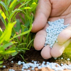 fertilize grass to prevent weeds
