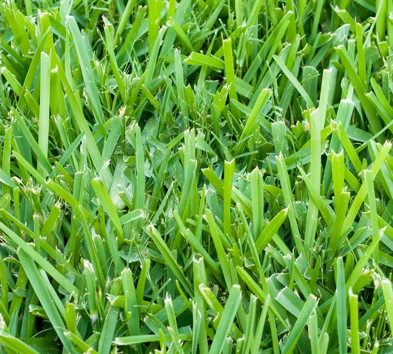treating st augustine grass in Texas