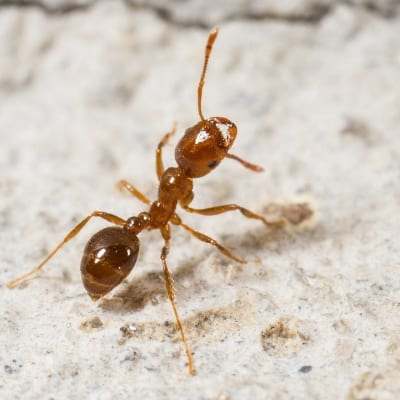 Identifying fire ants to help you eliminate them from your yard in Allen TX