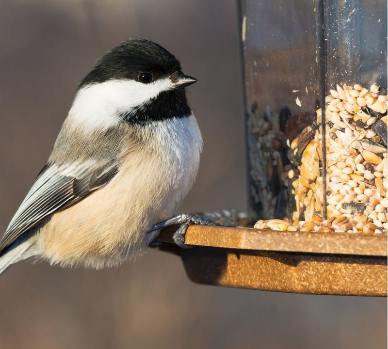 Attracting birds to your Texas property will bring birds like this Chickadee to visit your home.