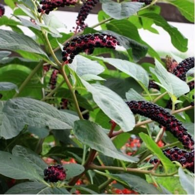 Pokeweed is one of the poisonous plants to avoid here in Texas.