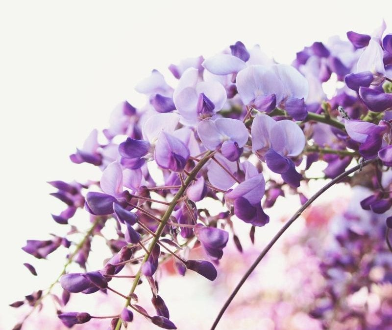 Wisteria is one of the poisonous plants to avoid here in Texas.