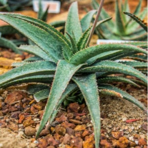 Adding an agave plant to your drought-resistant landscaping is a fun and economical way to get the most out of your lawn when water is scarce here in Wylie, TX.