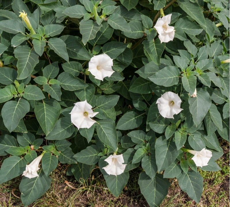 Jimson weed, Devil's trumpet, or moonflower is one of the very dangerous plants to avoid here in Rockwall, TX.