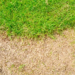 Chinch bugs cause extensive damage to lawns here in Forney, TX.