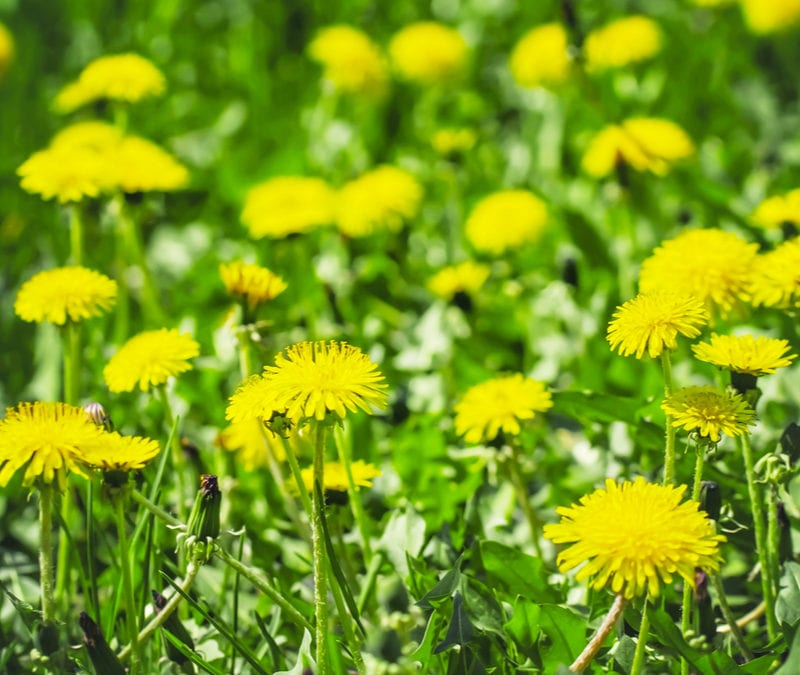 Fall weed control is a great way to keep the dandelions out of your Plano, TX lawn this fall while setting your lawn up for success next spring.