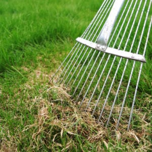 Chinch bugs live in the thatch of your Forney, TX lawn.