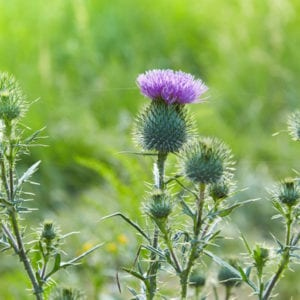 Thistles are some of the broadleaf weeds our Plano, TX lawns which is why fall weed control is so important.