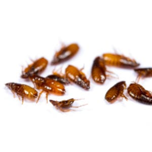 Fleas are persistent pests here in Allen, TX; luckily, these fall flea control tips can help you keep your home flea-free for the holidays.