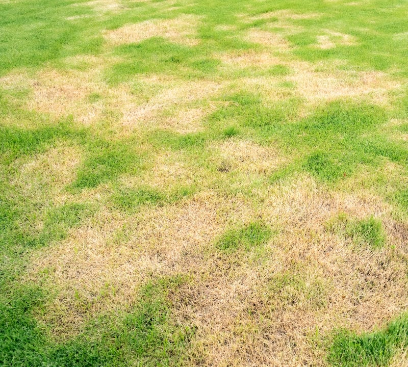 Protect your Allen, TX grass from Texas lawn diseases like large patch.