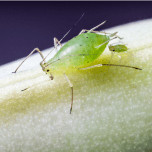 an aphid on a leaf
