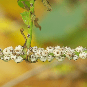 tree scale insects on a plant