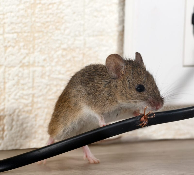 mouse chewing wire in house