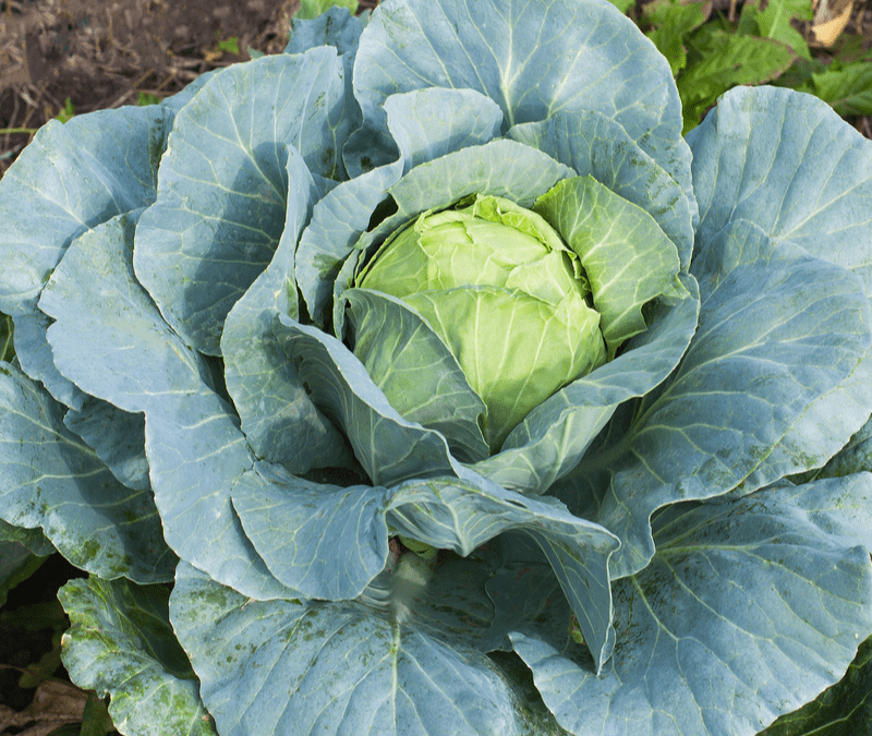 cabbage growing