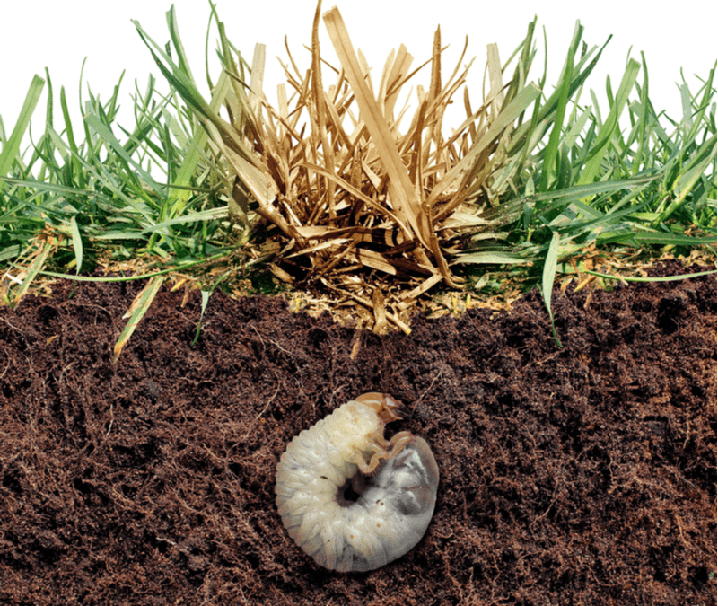 grub in dirt cross section